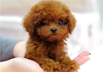 Miniature Poodle for sale - sample