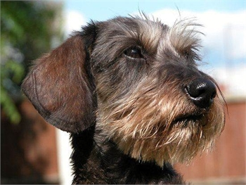 Wire-haired Dachshunds for Sale - Sample