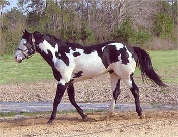 Paint Horse for Sale - Sample