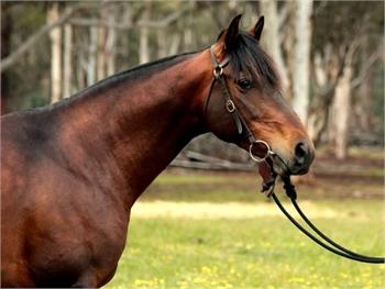 Quarter Horse for Sale - Sample