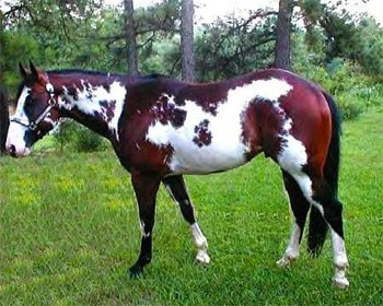 Nice All Around Painthorse - Sample Listing