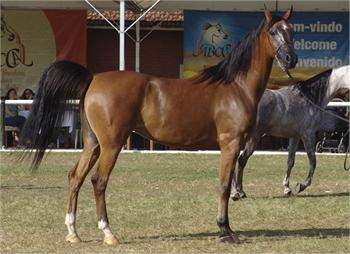 Arabian Horse-Sample Listing